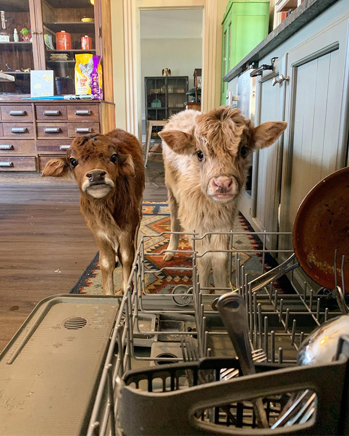 cow helpers