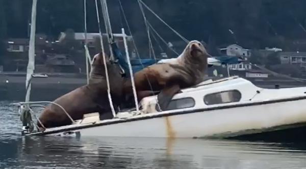 g2bta-sea-lions-sinking-boat-lg.jpg