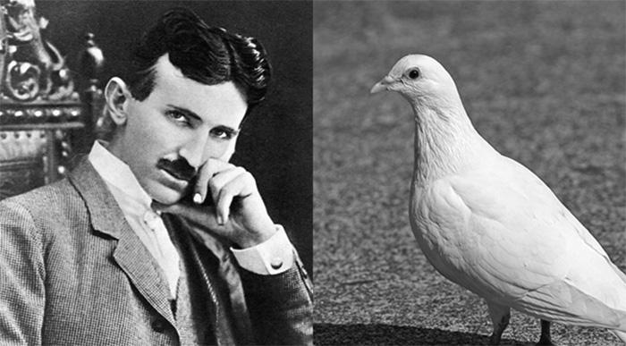 tesla pigeons