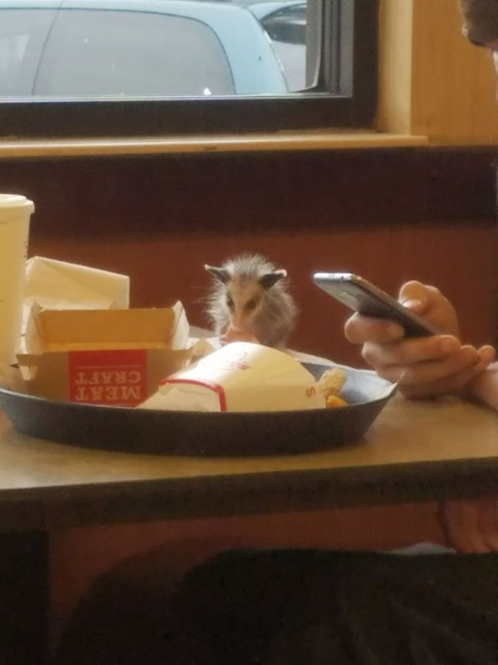 baby possum eating at arbys
