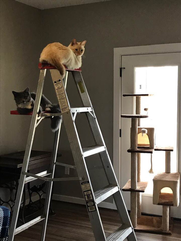 cats on ladder not cat tree