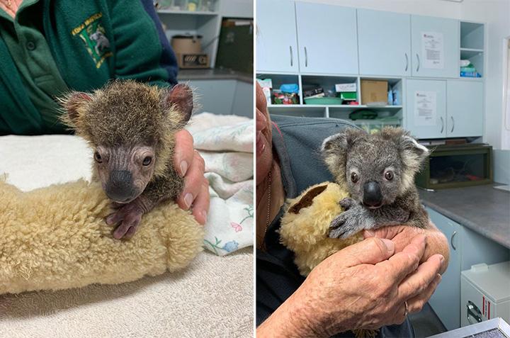 baby koala rescued