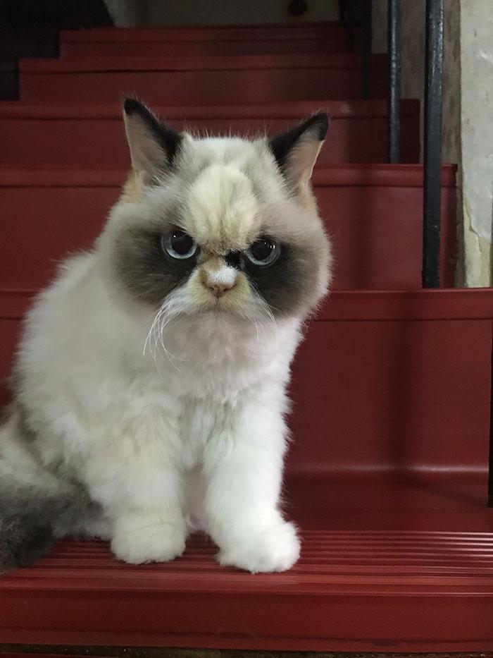new grumpy cat 2020