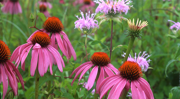 wildflower lawns for bees