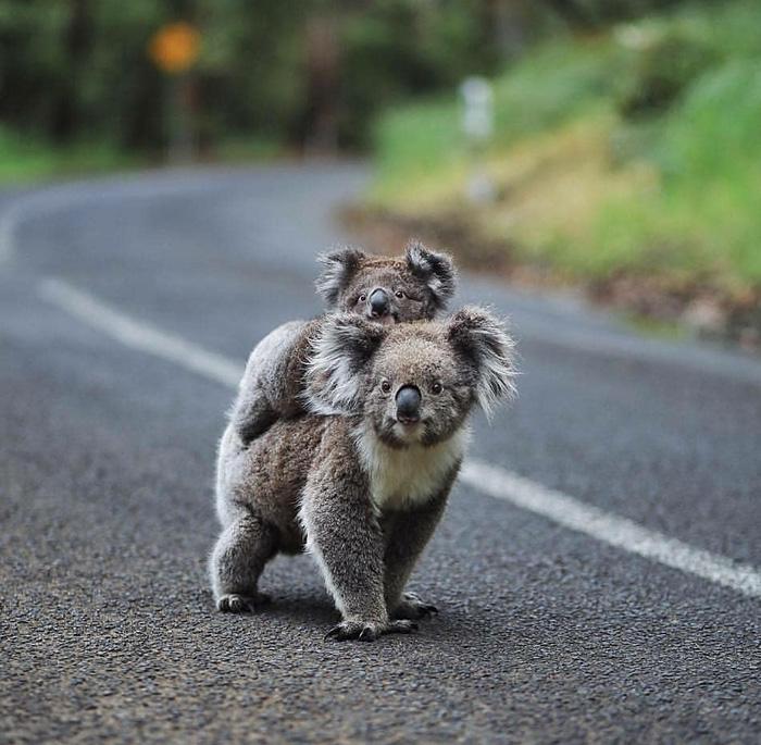 baby koala rides mom