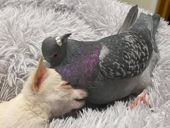 pigeon and chihuahua friends