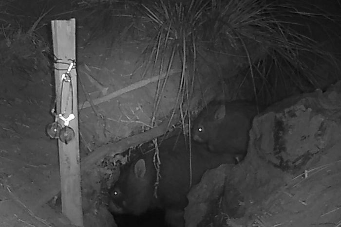 wombat hero helping animals in drought