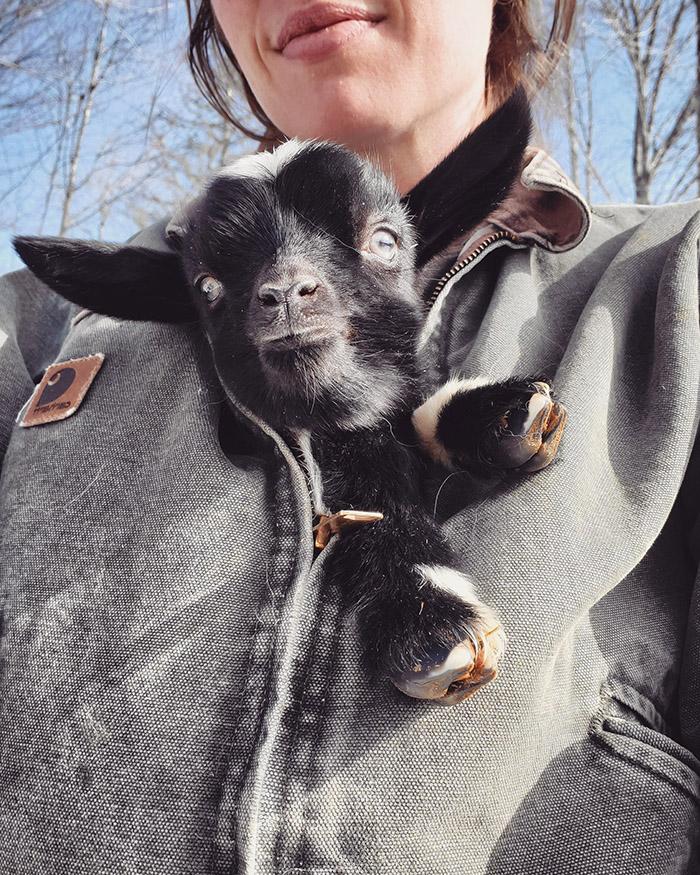 goat in my coat