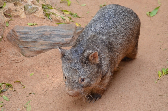wombat hero helping animals in drought