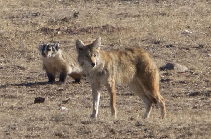 coyote and badger friends