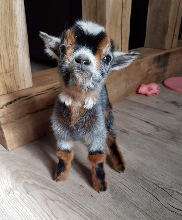 baby goat boots