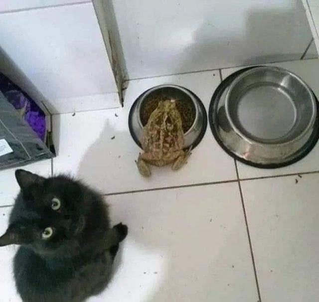 toad steals cat food
