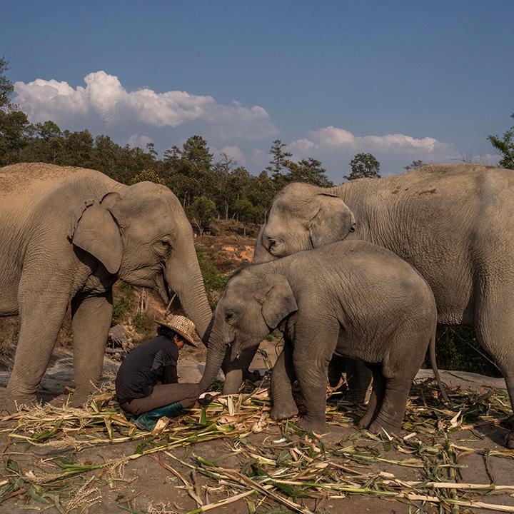 elephants free in thailand coronavirus