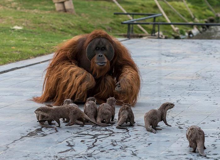orangutan with otters