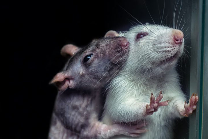 rats will not hurt one another even for treats