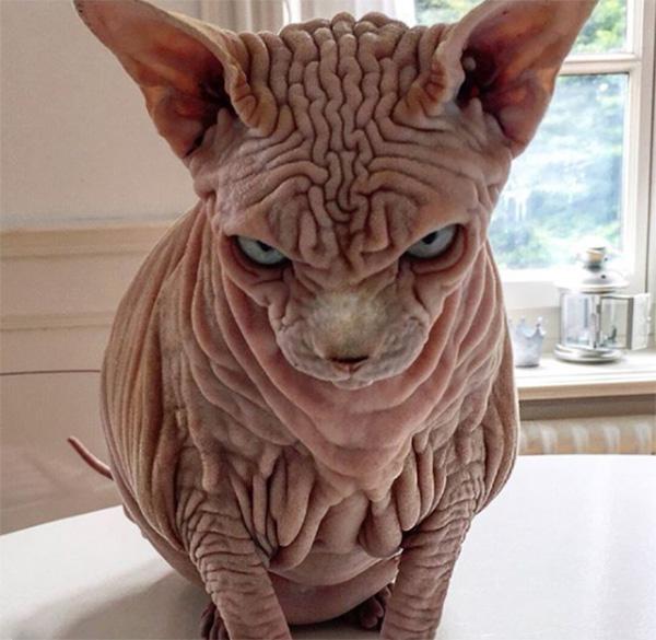 xherdan naked cat wrinkles