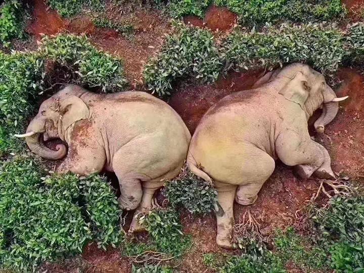 elephants drunk on wine napping