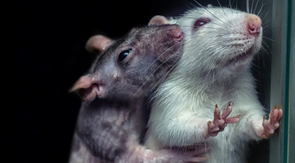 Rats Will Avoid Actions That Hurt Others -- Even If It Earns Them A Treat