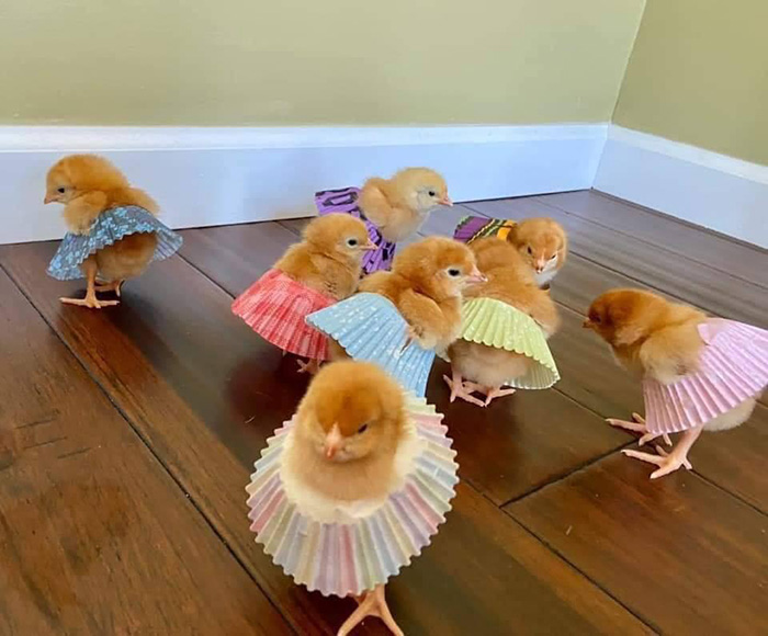 fancy chicks in cupcake wrappers