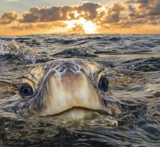 sea turtle peaking out of water
