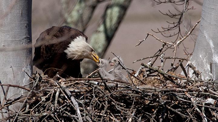 bald eagle population growing