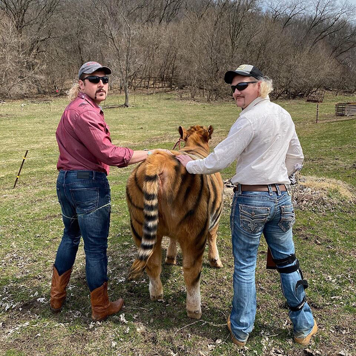 tiger king cow farmers