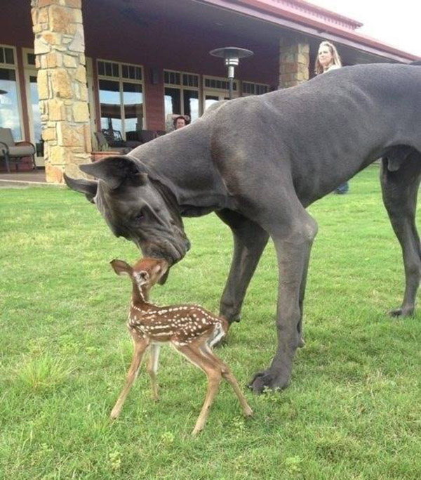 great dane and baby deer