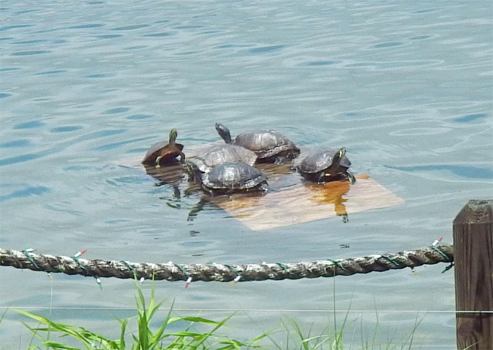 turtle floating dock