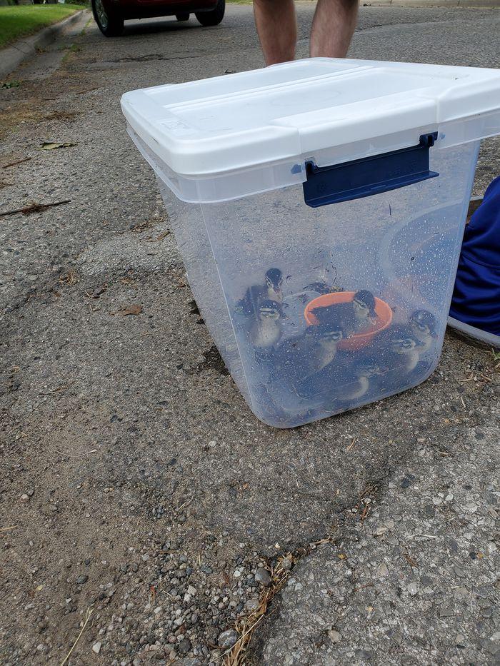man rescues ducklings in sewer