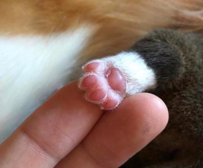 baby corgi paw