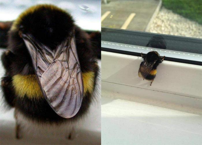 chonky bee