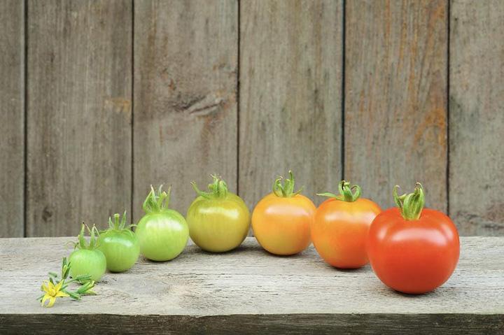lifecycle of tomato