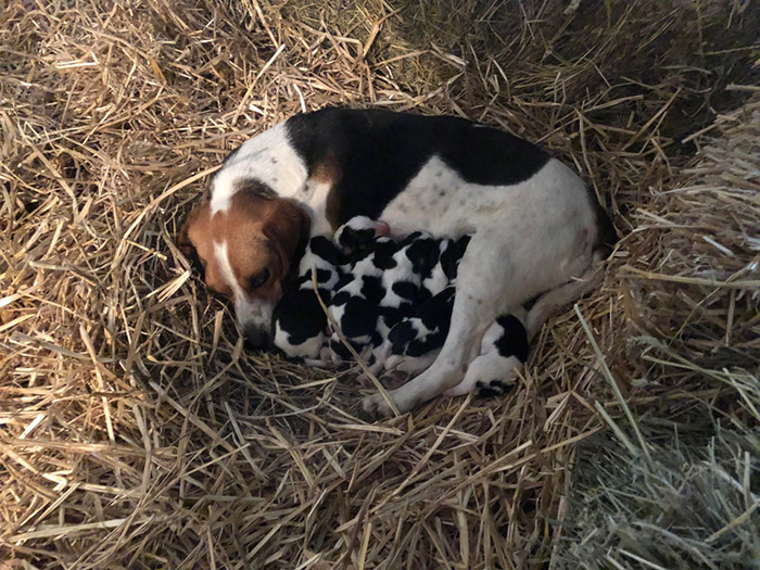 beagle mom puppies