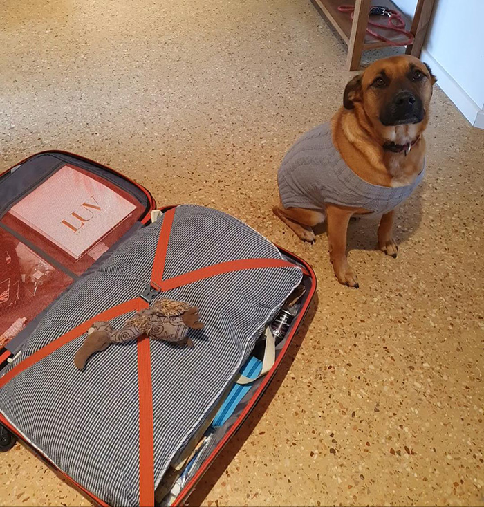 dog puts favorite toy in suit case