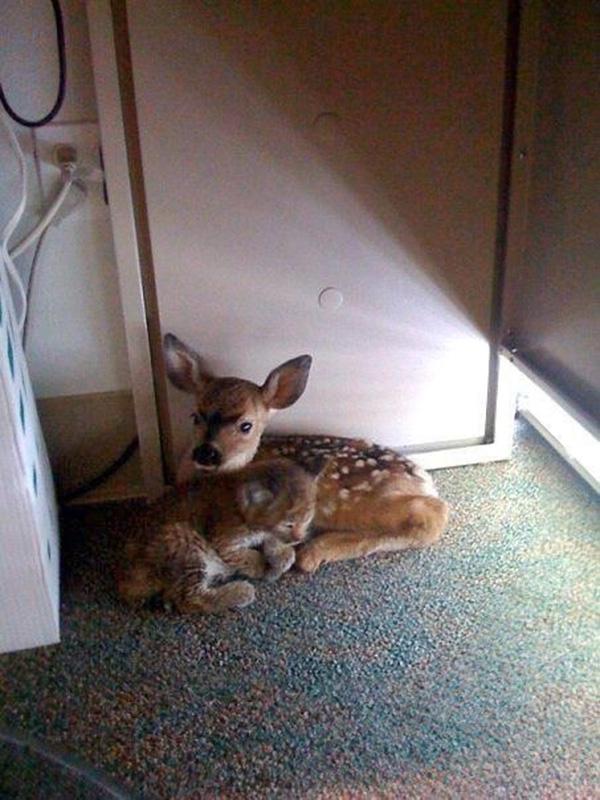baby bobcat and deer