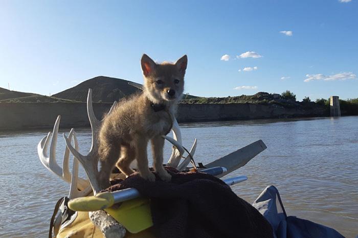 man rafting saves coyote pup