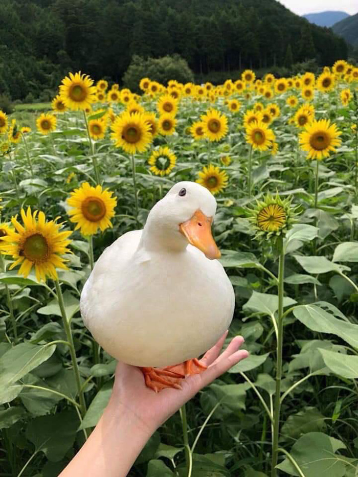 duck in sunflower field