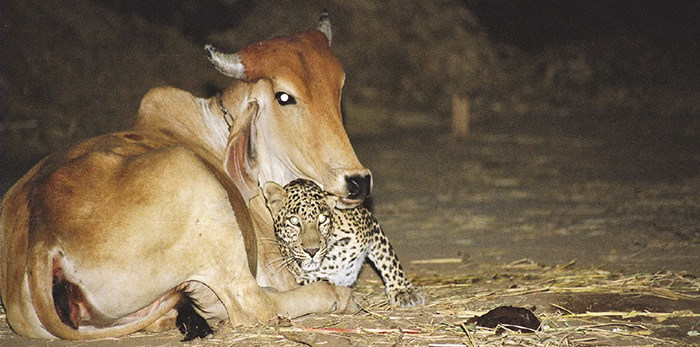leopard and cow