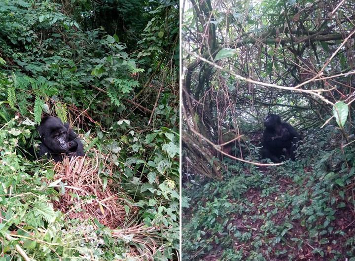 gorilla baby boom uganda