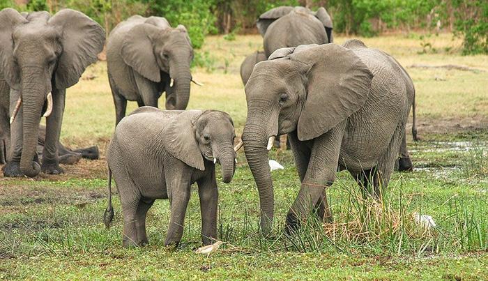 elephant population doubles in Kenya