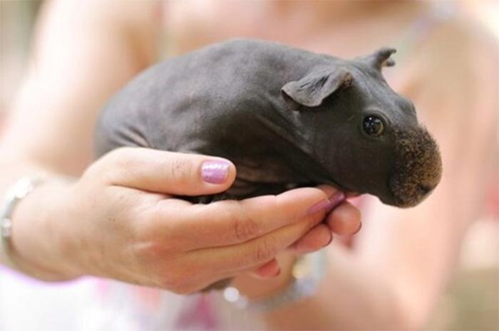 guinea pig baby hippo