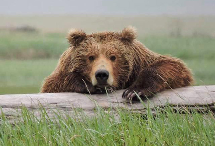 hilarious bear advice national park service