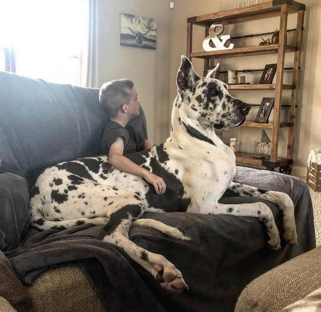 giant lap dog