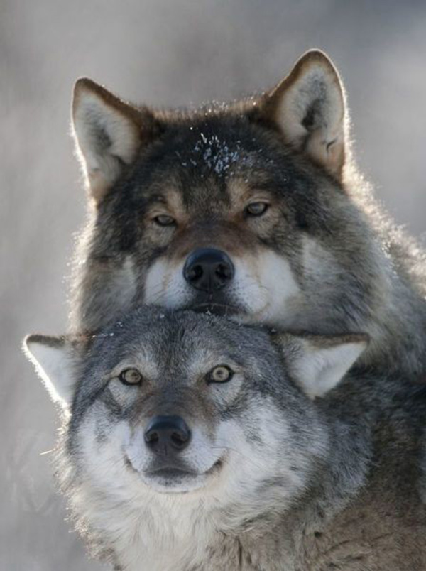 wolves being wolves
