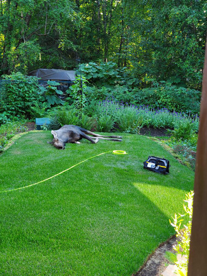 moose afternoon nap garden