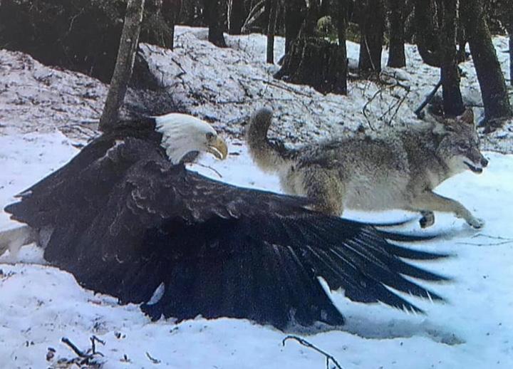 bald eagle vs wolf