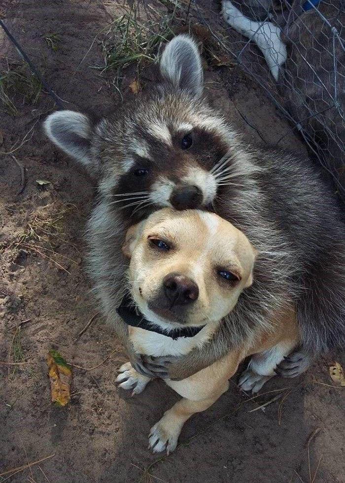 raccoon hugs dog
