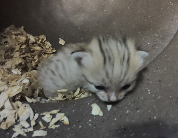 sand cat kitten born at NC zoo