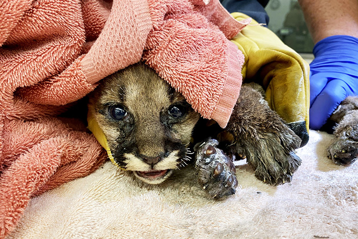 mountain lion cub injured in fire rescued