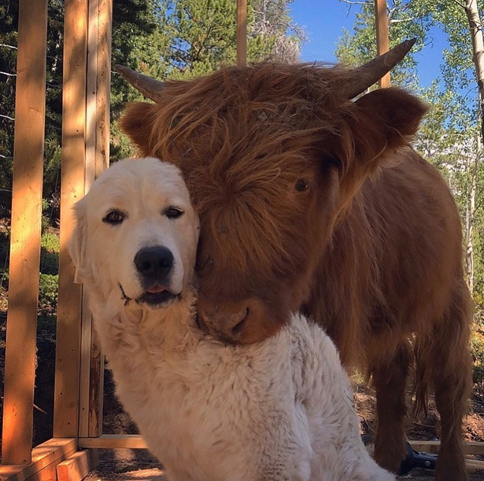 cow posing with dog